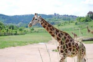 ג'ירפה בגן החיות של פראג